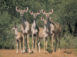 Kudu females